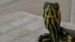 Close-up water turtle (Chrysemys scripta elegan) Stock Footage