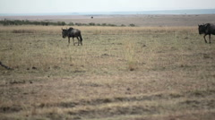 Wildebeest migrating across Masai Mara savannah, safari Kenya Stock Footage