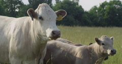 White Cow Calf Stock Footage