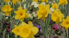 Narcissus pseudonarcissus flower garden waving  on the wind 4K 2160p UltraHD Stock Footage