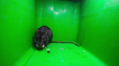 Rat on a green background - stock footage