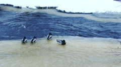 Flock of ducks hunting in forest river Stock Footage