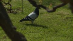 Pigeon runs through park in Paris Arkistovideo