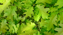 Natural background with green foliage of northern red oak Stock Footage