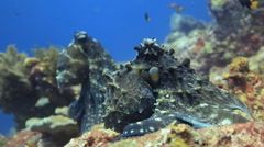 Octopus coral reef 2 Stock Footage
