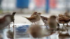 Many sparrows jump on a big pool - stock footage
