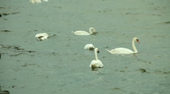 Swans swimming on sea water Stock Footage