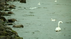 Swans swimming on sea water - stock footage