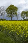 Trees and a colza field at contre-jour Stock Photos