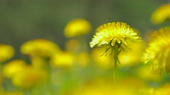 Dandelion flower head in focus  green natural background  4K 2160p UltraHD vi Stock Footage