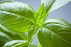 Sweet Basil Plant Closeup Stock Photos