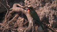 Small Bird Resting on a Root in the Chobe National Park BOTSWANA Stock Footage