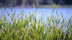 Green sedges, reeds and grass swaying in the wind on the lake with a blurred bac - stock footage