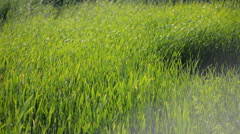 Green sedge, reed and grass swaying in the breeze on a sunny day. - stock footage