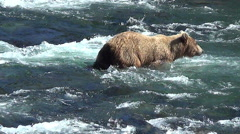 Brown Bear Uses Snorkeling Technique While Wading Downriver then Dives at Fish Stock Footage