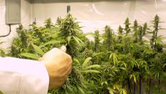 Man Trimming Marijuana Plant Fast Forward Stock Footage