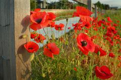Wild Poppies and Fence - stock photo