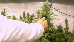 Man Trimming Marijuana Plant Sped Up Stock Footage