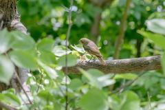 Nightingale in the Wood - stock photo