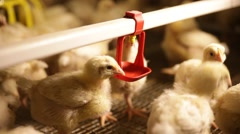 Broiler small yellow chickens in the coop Stock Footage