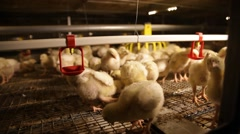 broiler small yellow chickens in the coop - stock footage