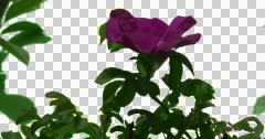 Pink Rose Bush Plants Leaves Flowers Grass Green - stock footage
