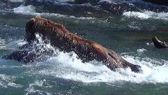 Brown Bear Does Superman Dive for Salmon Stock Footage
