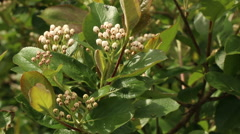 Chokeberries flower in full bloom bud spring nature footage Stock Footage