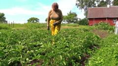 Grandma examine potato harvest branch in country garden Stock Footage