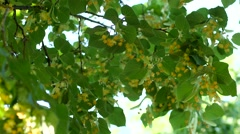 Linden tree in bloom at early summer Stock Footage