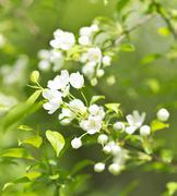 apple blossom - stock photo