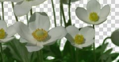 White Daisy Bush Plants Leaves Flowers Grass Green Stock Footage