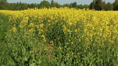 Blooming yellow canola rape field in motion nature footage video Stock Footage