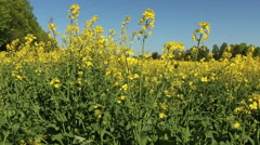 Blooming yellow canola rape field in motion nature footage video - stock footage