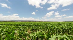 Corn field and white clouds Stock Footage