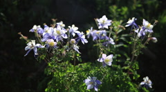 Colorado columbine mountain wild flowers Stock Footage
