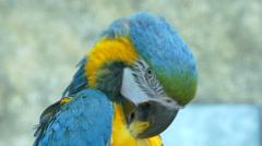 Macaws preening its feathers Stock Footage