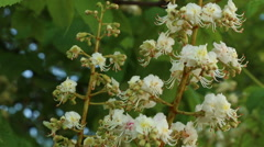 Horse chestnut tree flower in full bloom nature footage Stock Footage
