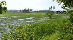 Grassy water field, swamp area on tropical island, buildings on right Stock Footage