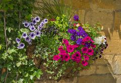 Colorful plants in wall mounted wrought iron basket  including begonia, petun Stock Photos