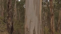 Australian Gum Trees Stock Footage