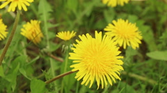 Dandelion meadow spring nature flower footage Stock Footage