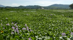 Huge field being populated by invasive species - eichhornia crassipes Stock Footage