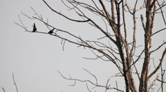 Two bird sillouettes sitting in a tree - stock footage
