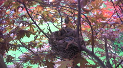 Baby Robins stick heads up as mother flies back to nest Stock Footage