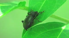 Black beetle crawls on green leaves in the forest macro 4k Stock Footage