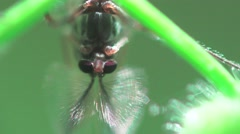 Fly with the mustache sitting on a green leaf, macro, insect, HD Stock Footage