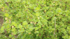 Green gooseberry flower bloom branch with green leafs spring nature footage - stock footage