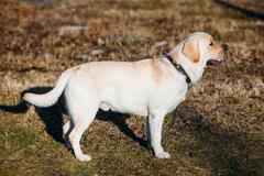 Stock Photo of Beautiful White Labrador Lab Dog Outdoor Portrait