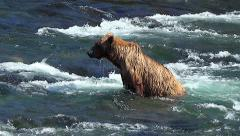 Brown Bear Wading River Stops & Shakes Off & Looks for Salmon Stock Footage